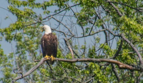 2018 May eagles_05 28 18_6811_edited-1