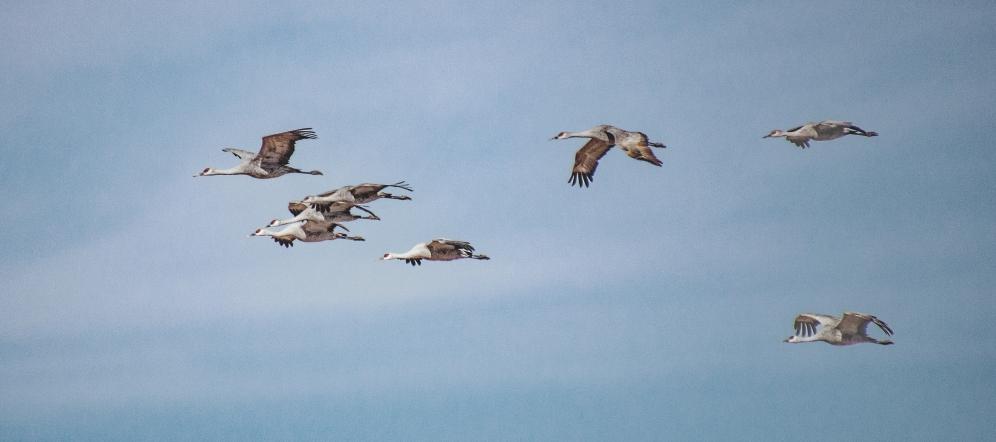 2020 Jan Sandhill cranes_0111