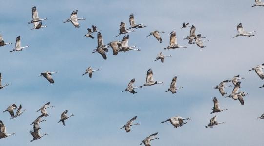 2020 Jan Sandhill cranes_0529